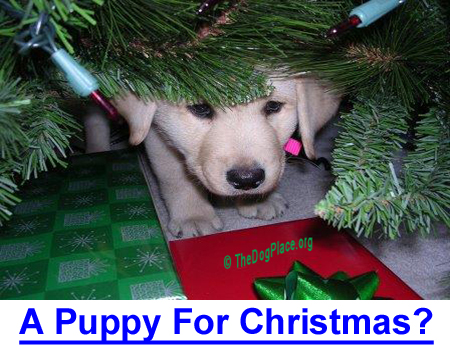A PUPPY FOR CHRISTMAS?: Why It's a Bad Idea: The chaos of Christmas can overwhelm an already stressed puppy.