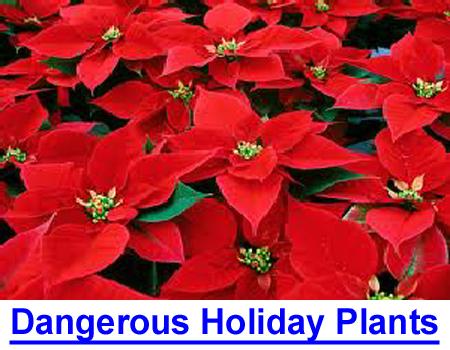 DANGEROUS HOLIDAY PLANTS! What's in your yard or home? Photos & list of poisonous plants.