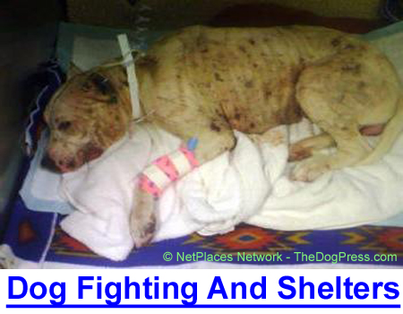 DOG FIGHTING RINGS AND SHELTERS: There are $5,000 bounties on ringleaders, pets are stolen as ring bait, and pit bulls fill shelters.