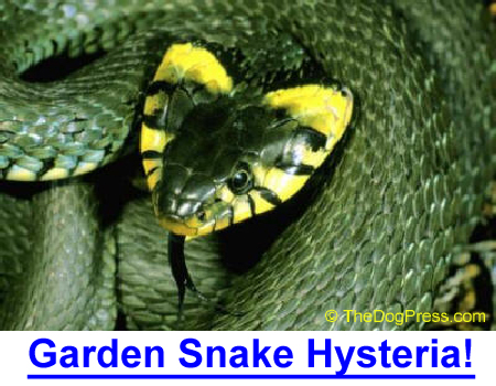 SNAKE HYSTERIA! The wife, the dog, the police... the snake leaves town!