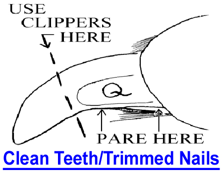 GROOMING - CLEAN TEETH, TRIMMED NAILS: It dismays me as a dog-show judge to examine dogs that show dirty teeth and neglected toenails.