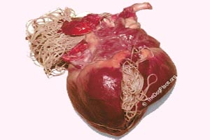 canine heart infested with heartworms clearly shows the damage adult heart worms can do