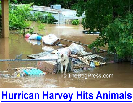 HURRICANE HARVEY HITS HOUSTON'S ANIMALS: Many people abandoned their pets and fled, but what happened to the animals?