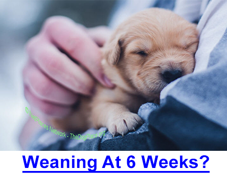 IS WEANING AT 6 WEEKS TOO SOON? Letting puppies go at 6 weeks was normal, then more vaccinations came about so 8 weeks was the accepted time to send puppies to their new homes.