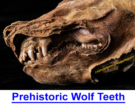 PREHISTORIC WOLF TEETH MYSTERY - Photos of frozen remains of this prehistoric wolf cub could re-write the archeological past!