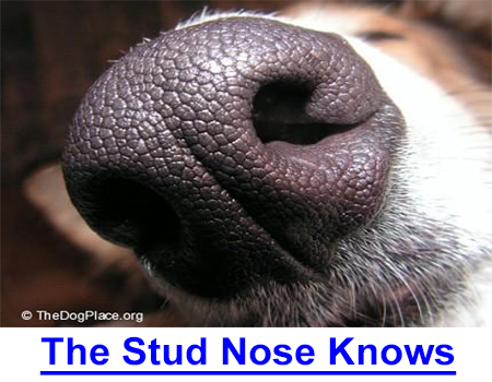 """THE STUD NOSE KNOWS! HE is the master of canine reproduction; the working stud dog is better than ovulation tests, smears, """"days in season"""" etc. information by owner of 9 All Time top Sires and Dams."""