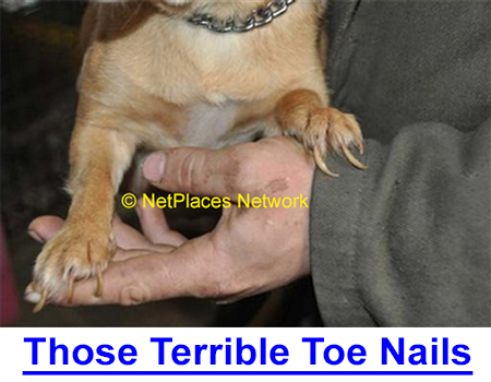 TERRIBLE TOE NAILS: Breeder-Judge on trimming or grinding toe nails to prevent foot damage which judges see as neglect. Learn how to completely groom your dog.