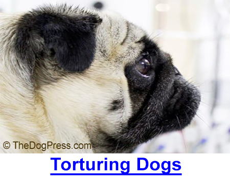 TORTURING DOGS MAKES ANIMAL RIGHTS RIGHT! Dogs have a right not to be born handicapped. Some breeds have become canine caricatures, giving the Animal Rights whackos credibility.