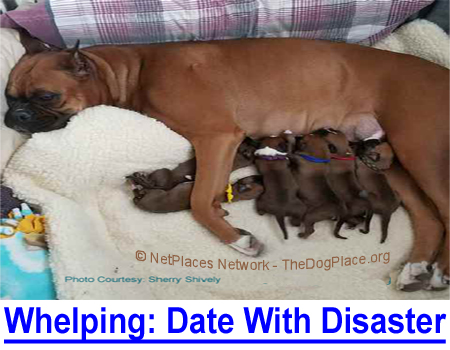 WHELPING: A DATE WITH DISASTER: Canine herpes virus in newborn puppies and the medicines that save them.