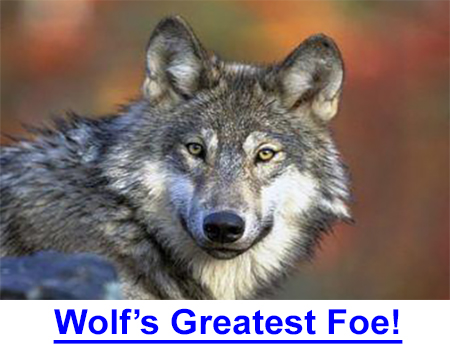 WOLF'S GREATEST FOE, MANKIND - Federal law not enforced to protect wolves. Staggering statistics and facts about the only species that adopted man.  What we do to the wolf today…