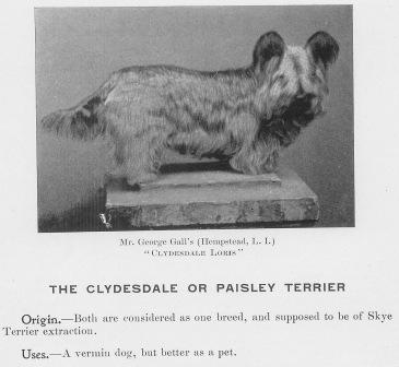 The heritage predecessor of the Skye, a Clydesdale or Paisley Terrier - extracted from Skye Terrier 1900, photos courtesy Pam Guevera