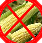 "Corn is for cows - corn ferments, causing bloat.  A cow's stomach can handle corn, the dog's teeth and stomach cannot so corn is just a cheap ""filler"" which is passed out undigested."