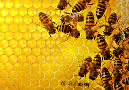 HONEY BEES HEAL DOGS AND PEOPLE!