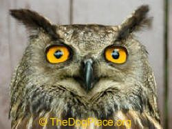 THE WISE OWL IS A MESSENGER OF EVIL, SICKNESS, EVEN DEATH.