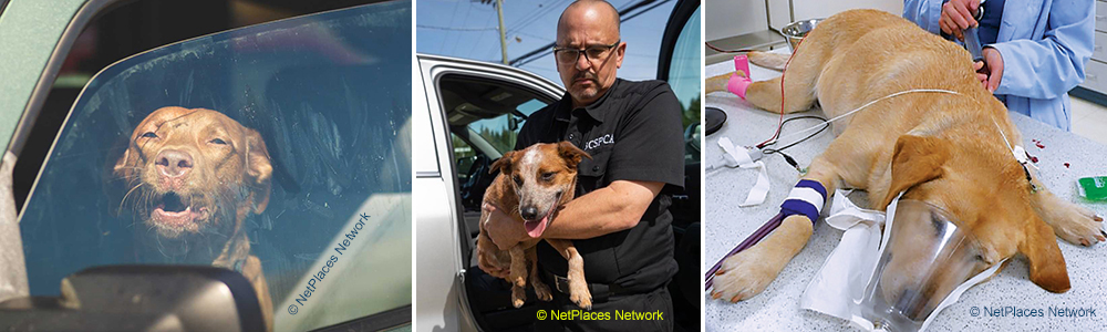 Dogs locked in hot cars may have to be rescued or even taken to the vet to save!