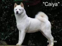 Ch. Caiya | Akitas CAS, Cindy Smith, Top Akita breeder, Quality Akita puppies, Akita breeding program, Akita Breeders, Akita puppy, Akita litter