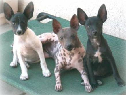 Certified American Hairless Terrier Representative: Lynn Poston, Gr. Ch. Nekid & Kalon's Distinctly Devine and pups