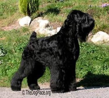 black russian terrier information black russian terrier