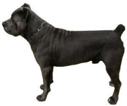 "Cane Corso ""Angus"" A of D's Angus Di Nativo aka The Smoking Gun"