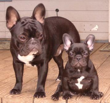 french bulldog information french bulldog breeders, photos, breed