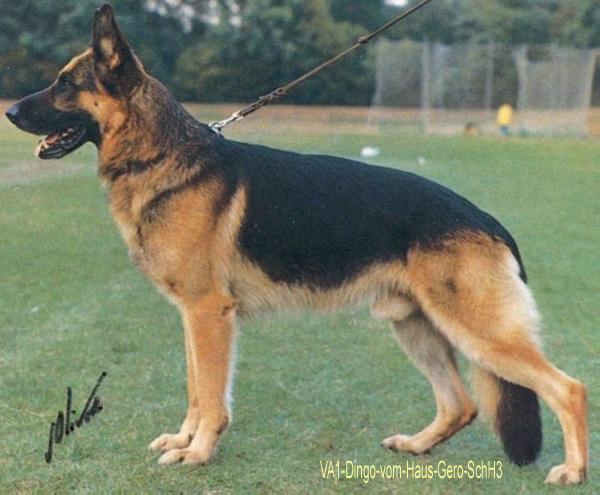 VA1-Dingo-vom-Haus-Gero-SchH3