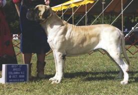 A Magnificent Mastiff Showdog