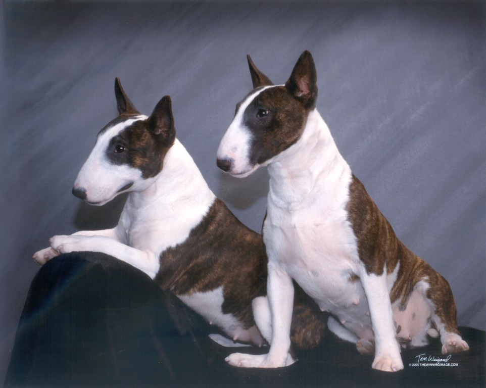 Miniature Bull Terrier Dog Breed Information Puppies Dog Breeds Picture