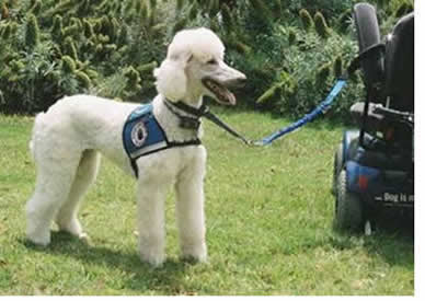 DO POODLES....? THESE POODLE PHOTOS SAY IT ALL!