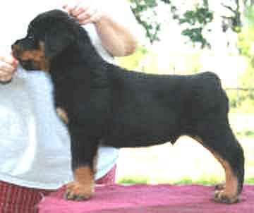 Puppy Evaluation Sheet From Akc Gazette Rottweiler Column