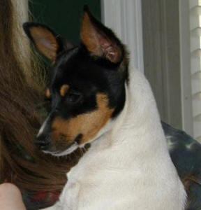 Exceptional Toy Fox Terrier head and markings, he was a pick of litter puppy for his breeder