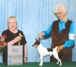 Visit Toy Fox Terriers O'BJ to learn more about our TFT breeding program, Hugely and his 6 TFT friends.