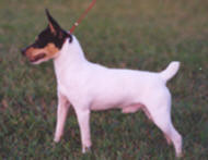 Winston - Dual titled Toy Fox Terrier Champion