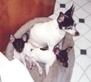 Toy Fox Terrier mother and puppies