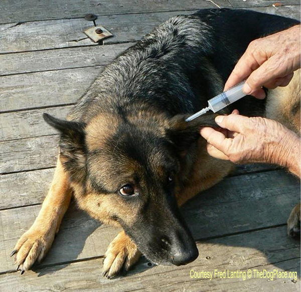 Liquid In Dog S Ear